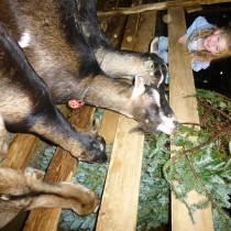 Goats Xmas tree